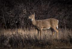 Deer in Police Point Park