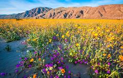 Anza Borrego Desert State Park San Diego Southern California Spring Wildflowers Superbloom Elliot McGucken Fine Art Landscape Nature Photography!