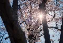Sunshine and Cherry Trees