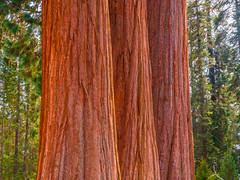 Kings Canyon Sequoia National Park Giant Sequoia Trees Fuji GFX100 Fine Art California Landscape Nature Photography California! Master Medium Format Kings Canyon & Sequoia National Parks Elliot McGucken Fine Art Fujifilm GFX100 Photography !