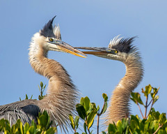 Pair of Great Blue Herons in Love
