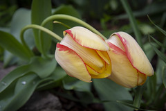 I pine for your tulips