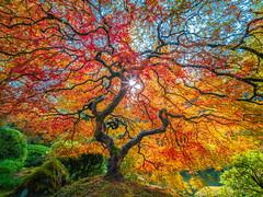 Japanese Maple Tree Autumn Leaves Colors Fall Foliage Portland Japanese Garden Oregon Fuji GFX100 Fine Art Landscape Nature Photography! 45Epic Oregon State Summer Nature Fine Art! McGucken Master Medium Format Fujifilm GFX 100 & Fuji Fujinon GF Lens!