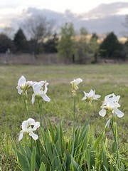 Easter Lilies in the wild