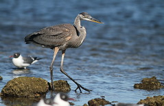 Great Blue Heron (immature)- Hudson Beach