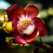 Cannonball Tree Flower