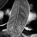 Leaf in B&W