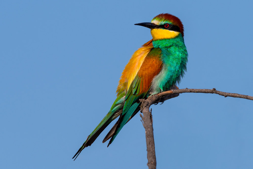 Male European Bee-Eater