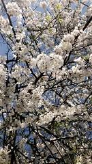 🇯🇵🌸🇺🇸ART IN BLOOM (Cherry Blossom Festival) Embassy of Japan - Washington D.C - April 2021 - #dc #washingtonDC #DistrictofColumbia #walkwithlocals #creativeDC  #202
