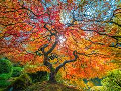 Japanese Maple Tree Autumn Leaves Colors Fall Foliage Portland Japanese Garden Oregon Fuji GFX100 Fine Art Landscape Nature Photography! 45Epic Oregon State Summer Nature Fine Art! Elliot McGucken 45EPIC Master Medium Format Fujifilm GFX 100 & Laowa 17mm