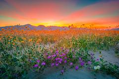 Southern California Superbloom Poppies Desert Wildflowers Elliot McGucken Landscape Nature Photography! Master Medium Format Fine Art Photographer! Fujifilm GFX 100 & Fujifilm FUJINON Lens!