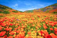 Antelope Valley Poppy Reserve California Superbloom Poppies Desert Wildflowers Elliot McGucken Fine Art Landscape Nature Photography! Master Fine Art Photographer!  Wild Flowers Super Bloom!