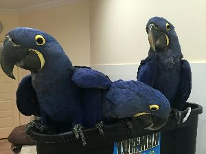 hyacinth-macaws-for-sale-1536453372-4279146
