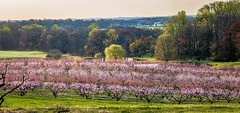 Spring morning at a peach orchard.