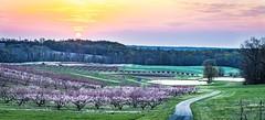 Sunrise at a peach orchard.