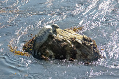 A Harbor Seal-1859