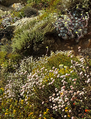 Wildflowers at Pt. Lobos, 2005-1862