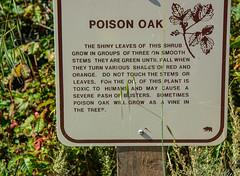 Poison Oak at Point Lobos-1856