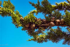 Monterey Cypress at Point Lobos-1855