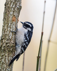 Debra the Downy Woodpecker