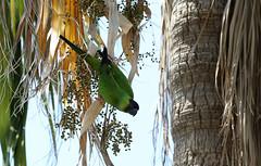Nanday Parakeet