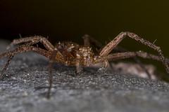 Running Crab Spider (Philodromus sp.)?