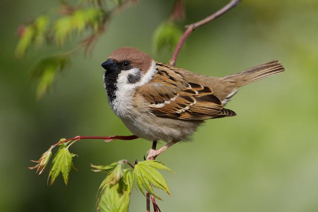 Eurasian Tree sparrow - resident common