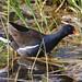 Common Moorhen - Summer visitor- common, Resident - uncommon