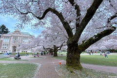 Cherry Blossoms at The Quad