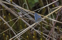 First Tailed-Blue of the Year