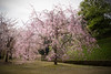 Photo:Cherry tree in Kanazawa castle park By sunoochi