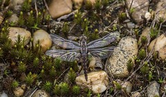Teneral Blue Corporal