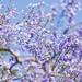 藍花楹 (Jacaranda mimosifolia)