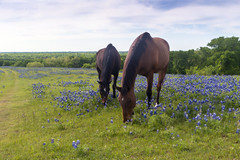 Bluebonnets and the Horses