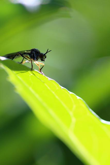 Une prédatrice - Dioctria hyalipennis