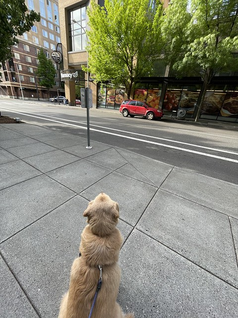 Photo:Patiently waiting for Mama to exit Safeway. Wouldn't budge until it happened. Portland. April 2021 By drburtoni