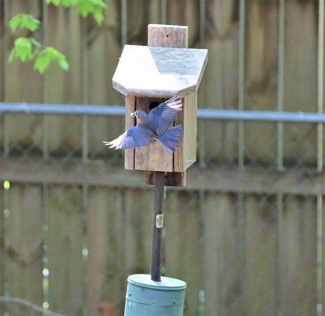 Photo:Very busy Mama Bluebird (Sialia sialis). By RUFUSLHWD