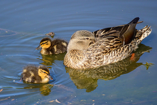 Photo:Mama Duck and Ducklings on Spring Valley Poind By donjd2