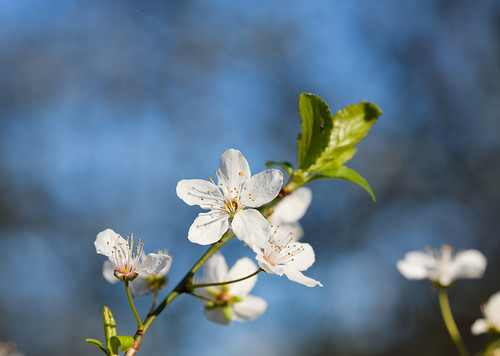 Japanische Kirschblüte. Cherry Blossom