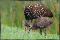 Limpkin and son
