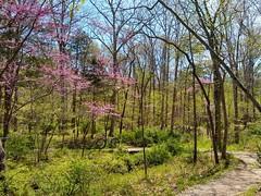 Native Redbud and Dogwood in Bloom