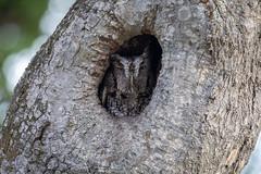 Neighborhood Eastern Screech Owl
