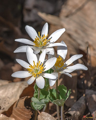 Bloodroot (Sanguinaria canadensis) (DFL1121)