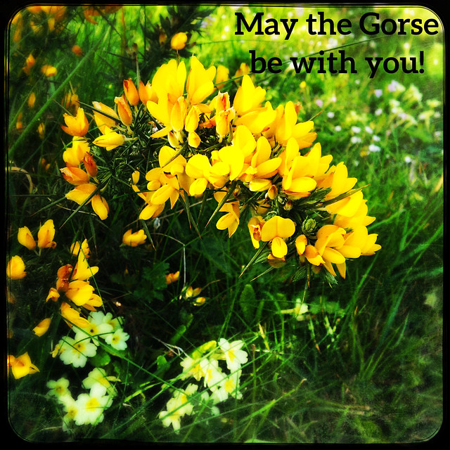 Photo:May the Gorse be with you! By Julie (thanks for 10 million views)