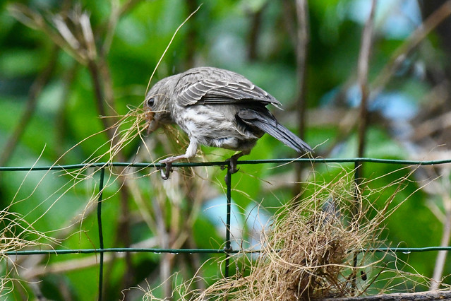 Photo:Nest building By Michele Dorsey Walfred