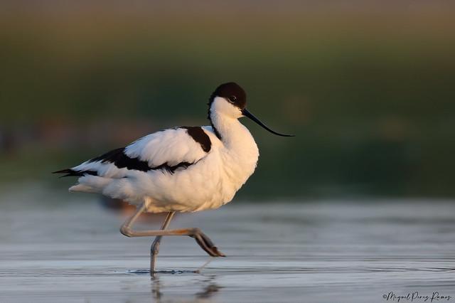 AVOCETA COMUN (Recurvirostra avosetta)