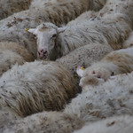 2014-10-12-145221 Sheep - https://www.flickr.com/people/9383990@N03/