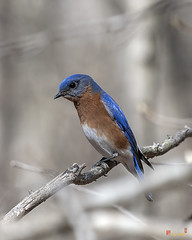 Eastern Bluebird (Sialia sialis) (DSB0394)