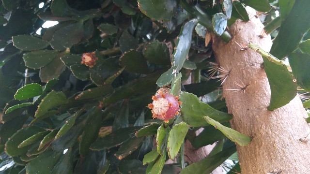 Photo:Cacto pé de mamão (Brasiliopuntia brasiliensis) By rafaguelfi