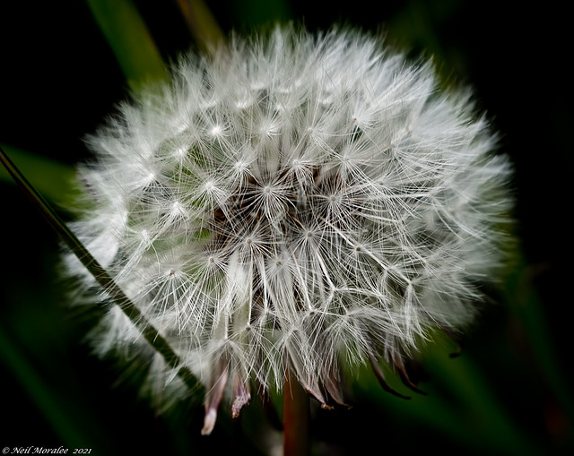 Photo:The dandelion clock By Neil. Moralee